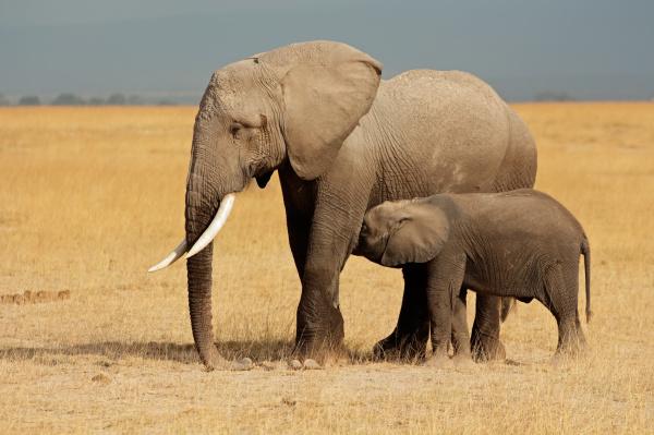 słoń, afrykański, z, cielęciem - 10094120
