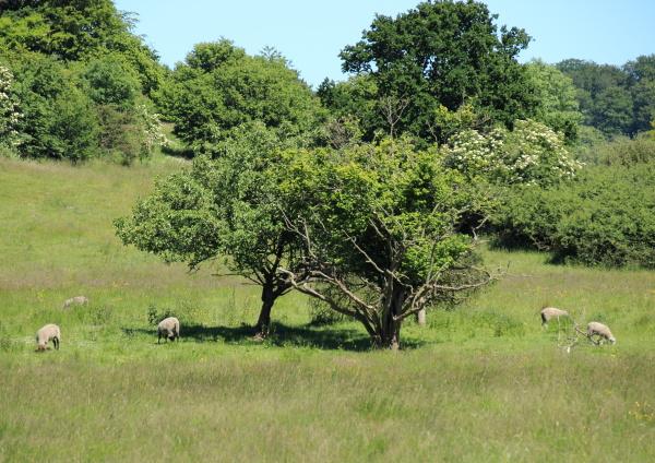 pole dania owiec owca spielfeld pejzaz
