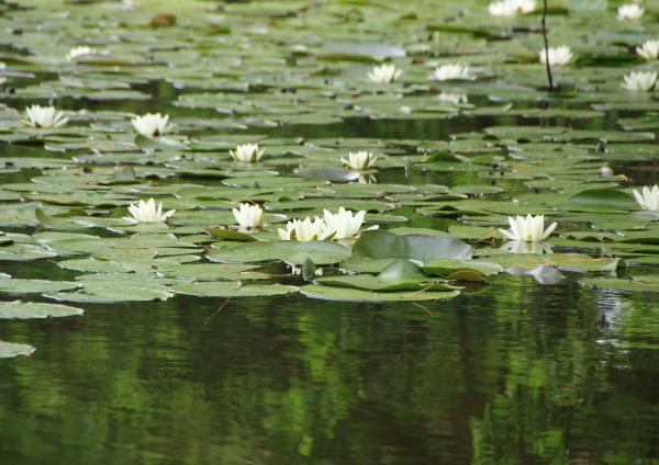 biala wodna w jeziorze z odbiciem