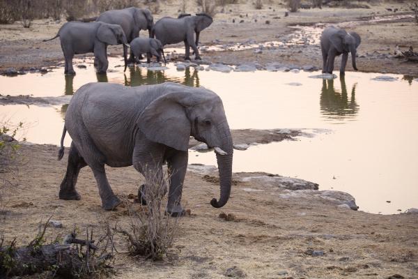 afryka namibia etosha national park afrykanskie