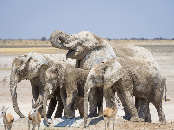 afryka namibia etosha park narodowy elefants