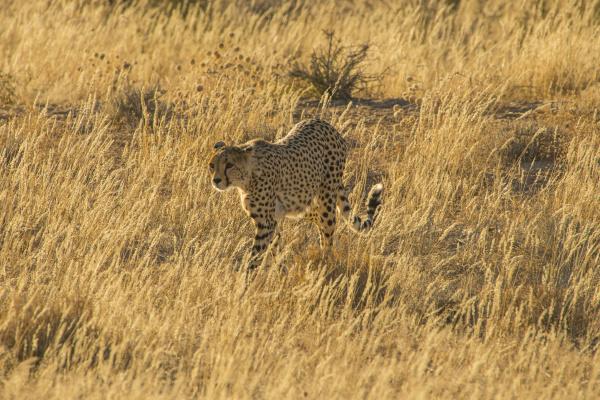 rpa kalahari transfrontier park gepard acinonyx