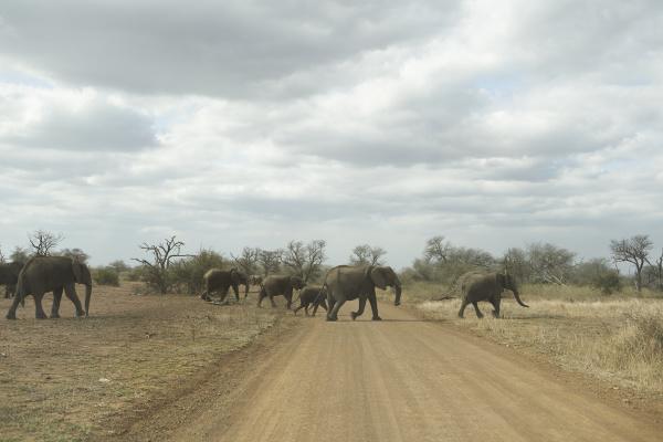 stado, słoni, przechodzących, przez, drogę, park, narodowy - 28032282