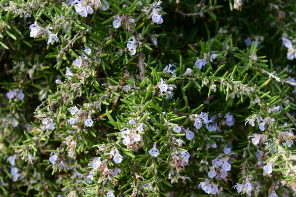 blooming, rosemary, in, the, province, of - 28217150