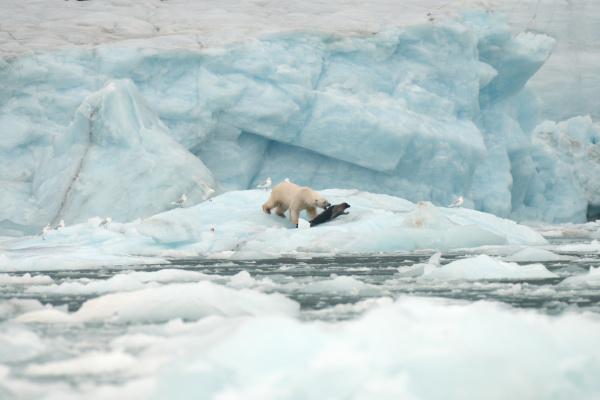 niedźwiedź, polarny, na, lodzie, morskim, poluje - 28772992