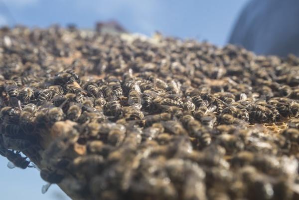 plaster miodu z zachodnimi pszczolami miodu