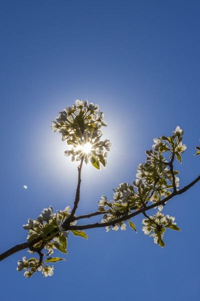 kwiaty i paki drzew owocowych na