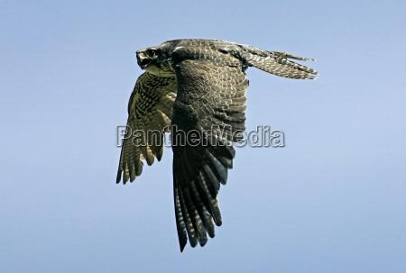 zwierze ptak ptaki drapiezne ptakow zuzywajacych