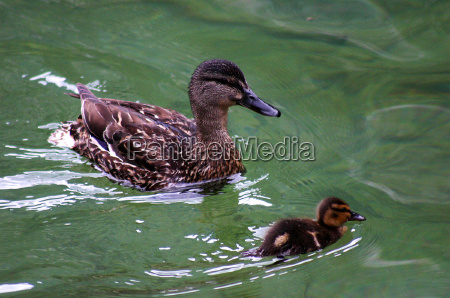 nauczyciel lato letni uczen kaczki kaczka