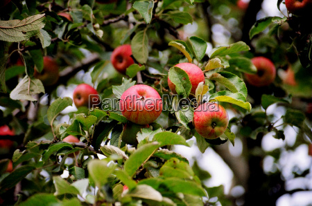 drzewo zielony liscie owoc owoce owocowe