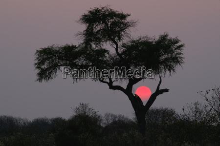 drzewo pustynia zachod slonca sawanna botswana