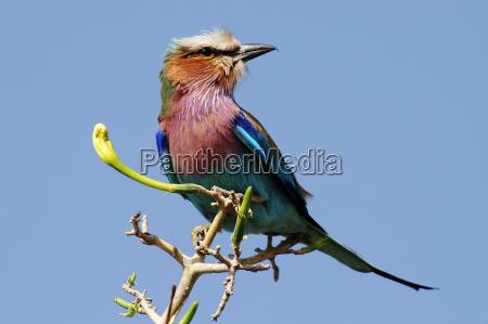 niebieski ptak zielony park narodowy afryka