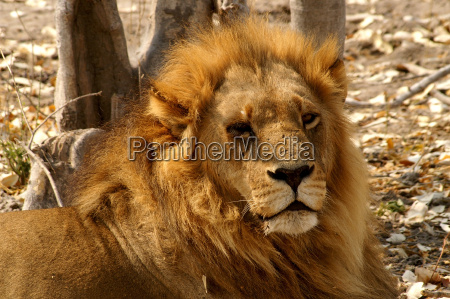 king of the kalahari