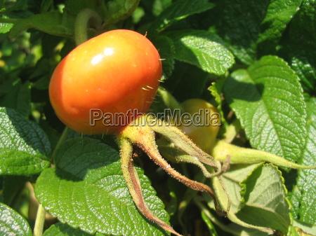 owoc owoce owocowe szypszyna biodro heckenrose