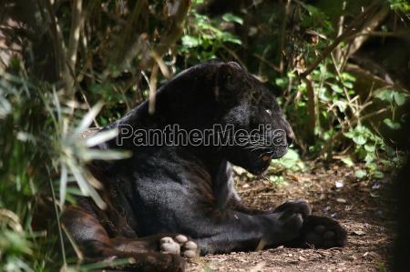 panther, bez, mediów - 236826