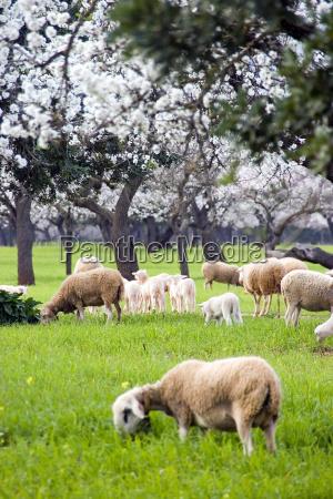owce jagnie kwiat migdalow