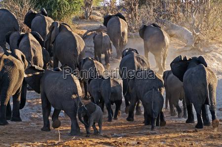 afryka slon kurz stado botswana river