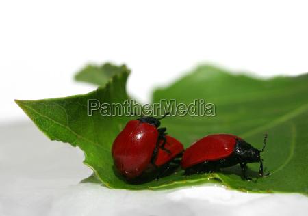 zielony zuk reprodukcja rozmnazanie fruehlingsgefuehle ochrony