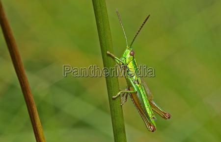 owad owady insekty zielony szarancza czechy