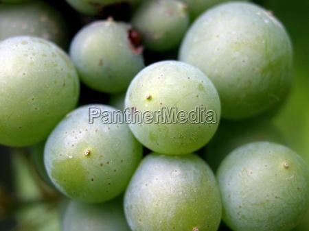 sadzenie sadzic zielony alkohol winorosli owoc