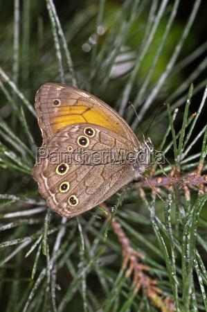 motyl sosna motyl samica