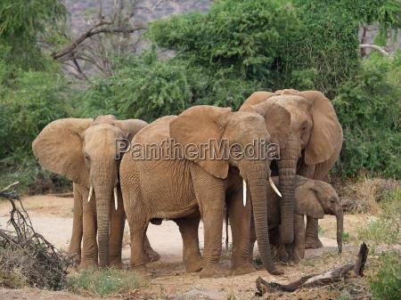 dziczyzna dzika afryka slon kosc sloniowa