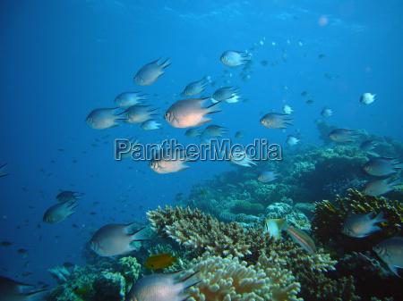 ryba podwodne egipt nurkowanie diving okon