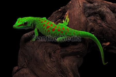 madagaskar dzien gecko