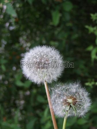 sadzenie sadzic dmuchawiec asteraceae szypulka