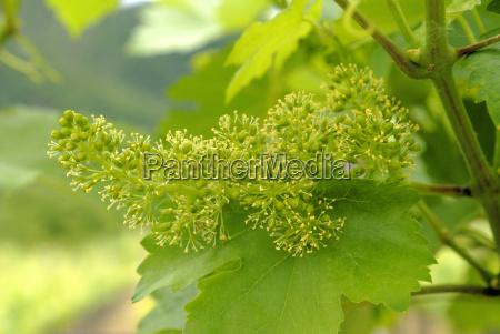 austria winnica wlasciciel winnicy umbels drzewa