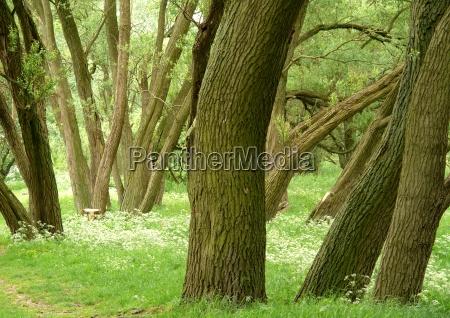 drzewo drzewa ukosnie wiosna krynica kora