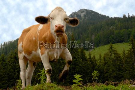 kadzidlo obudzic krowy