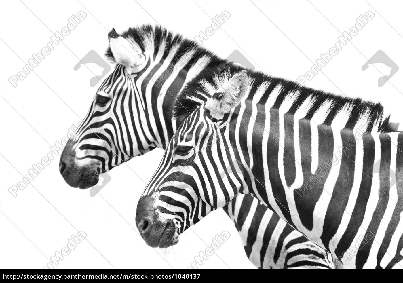 zebra - 1040137