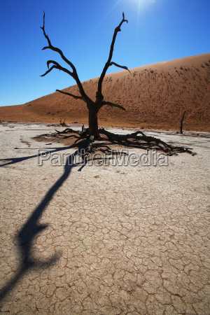 drzewo w deadvlei namiba