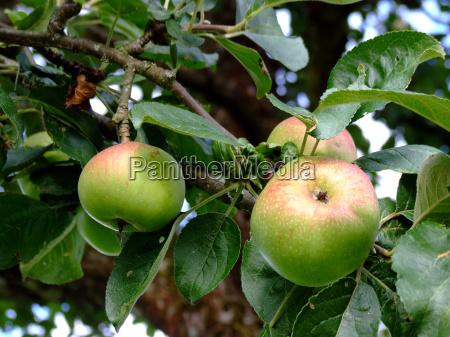 witaminy gospodarstwo rolnictwo jablon owoc owoce