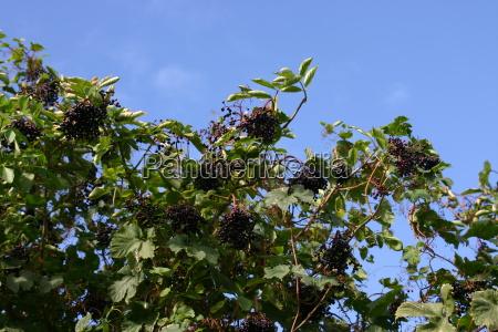 drzewo liscie krzew jagody wrzesien starszy