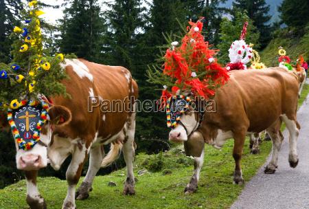 kolorowe kolektora alm kolor zdobione krowa