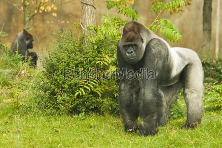 zwierze goryl myslenia tribus gorillini ape