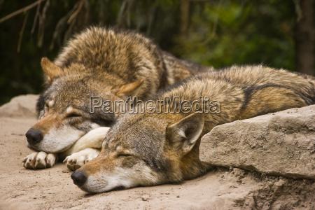 zwierze ssak zwierzeta zwierzatka ssaki wilk