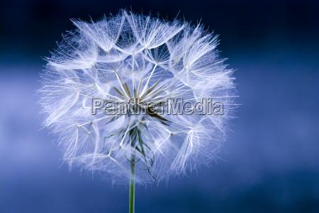 niebieski detal kwiat kwiatek zawod roslina