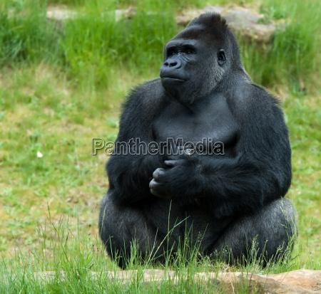 samiec goryla