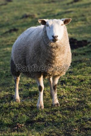 zwierze ssak zwierzeta zwierzatka gospodarstwo rolnictwo