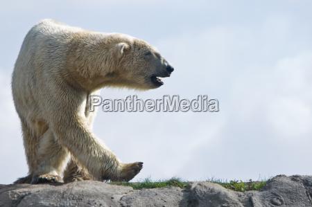 niedzwiedz polarny chodzenie