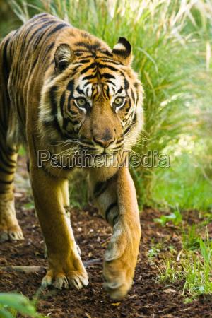 tygrys azjatycki mezczyzna