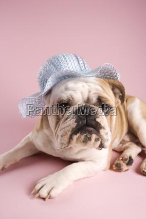 english bulldog wearing bonnet