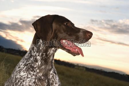 niemiecki krotkowlosy pies wskaznik
