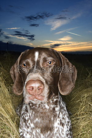 pointer dog lying in field