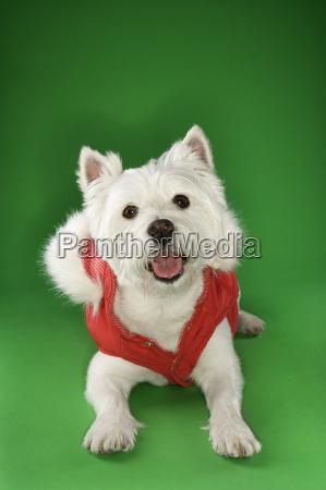 white terrier dog wearing coat