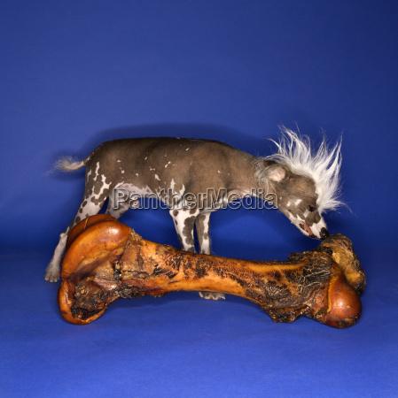 chinese crested dog smelling bone