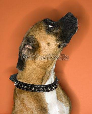 boxer dog in spiked collar